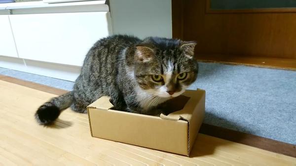入りたがってるダンボール箱が明らかに小さいけど、どうにか入ろうとした猫ちゃんの結果!無理矢理すぎ〜www