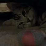「遊びたい…けど眠い…けど遊びたい」遊んでいるうちに明らかに眠くなってきちゃった子猫。遊びと眠気、両方とったらこうなりましたw