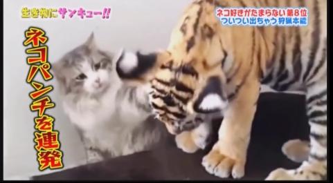 やっぱり猫って強いww虎の子を前にしても嫌なものは嫌と言う猫ちゃんが強すぎるw