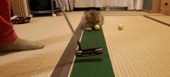 そこ邪魔www猫ちゃんがホールの守り神すぎて、まったくパターの練習にならない飼い主さん