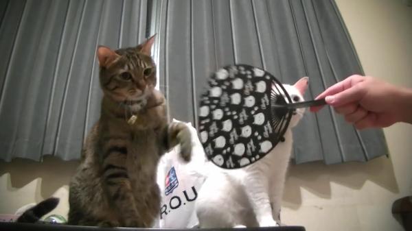 うちわの風vs3にゃんず!うちわで扇ぐ飼い主さんに立ち向かう猫ちゃん2匹と隠れる1匹!?勝ったのは意外にも…