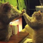 """息を合わせて""""せっせっせーのよいよいよい♪""""二匹の猫ちゃんの手遊びが可愛すぎる動画(笑)"""