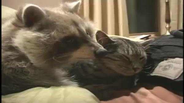 非リア充にはツライいちゃつきっぷり…(笑)アライグマと猫ちゃんの種別を超えたラブラブ度1000%!♡