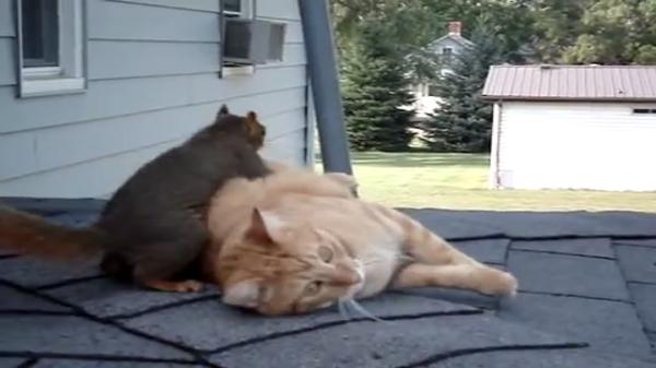 【リスにどつかれる猫!?】本気で仲良しの猫とリスのプロレスごっこ♪
