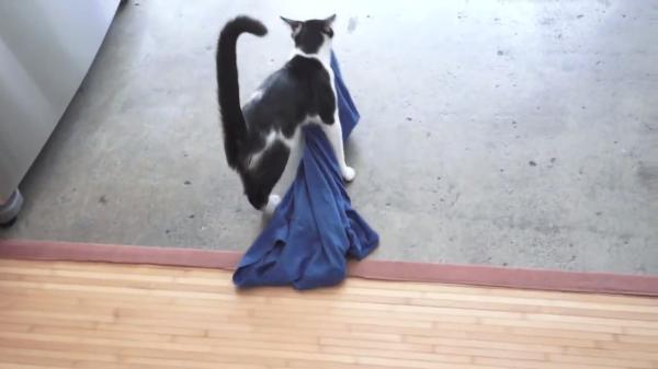 飼い主さんのシャツを持ち歩く、かわいい泥棒猫♡