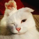 『みんなボクの耳を可愛いって言ってくれるんだ!』家族が救った片耳が垂れたオッドアイの野良猫
