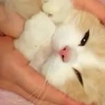 飼い主さんのお膝の上でくちゃくちゃにされる姿が可愛いスコティッシュフォールドの猫ちゃん♪
