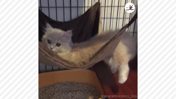 初めて見るハンモックに興味津々の子猫!乗るのではなく、ぴょーん。ぼんっ!とダイブする姿が可愛すぎw