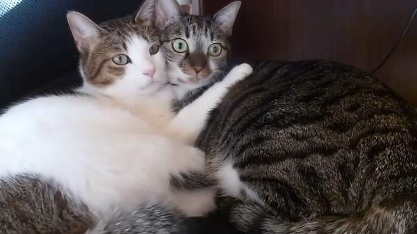 寝ている猫ちゃん達に突然ライオンの鳴き声を聞かせてみたら付き合いてたのカップルみたいになった♡