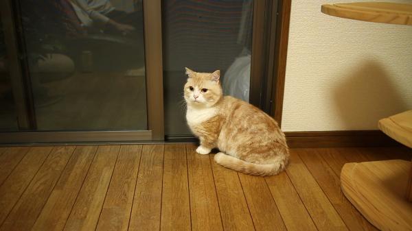 テレビの効果音に合わせてドヤっとする猫ちゃんのドヤ顔3連発ww