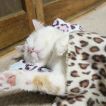 「むにゃむにゃ…Zzz…。」お昼寝中の猫ちゃんが完全に人間化してて可愛いw