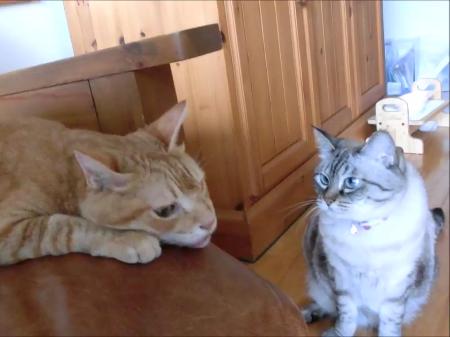 妹猫にガン見されているとは知らず、甘えん坊モード全開なお兄ちゃん猫!見られてる事に気づくとクールを装いはじめましたww