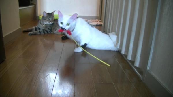 お気に入りの猫じゃらしを救え!!カーテンに隠れた猫じゃらしを救出した猫ちゃん。猫じゃらしを隠した犯人ははまさかの…