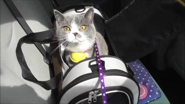 首輪ももちろんドラえもん☆リアルドラえもんな猫ちゃんとお散歩にレッツゴー♪