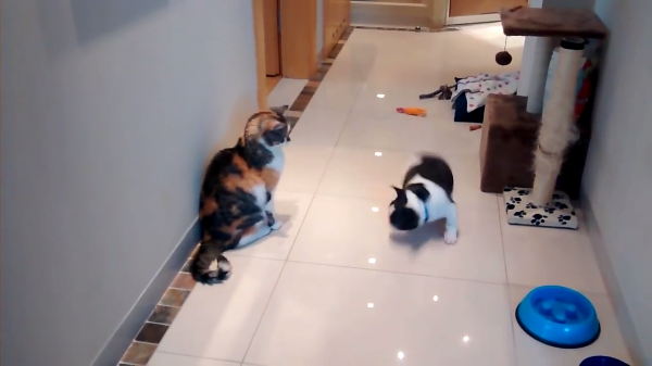 かまってほしいワンちゃんに完全な塩対応(笑)どこまでもクールな猫ちゃんがつよすぎ!!!