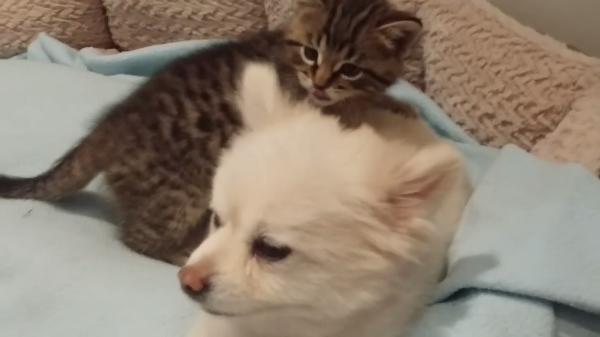 お母さんはポメラニアン♪母猫に育児放棄された保護猫が出会った新しい家族