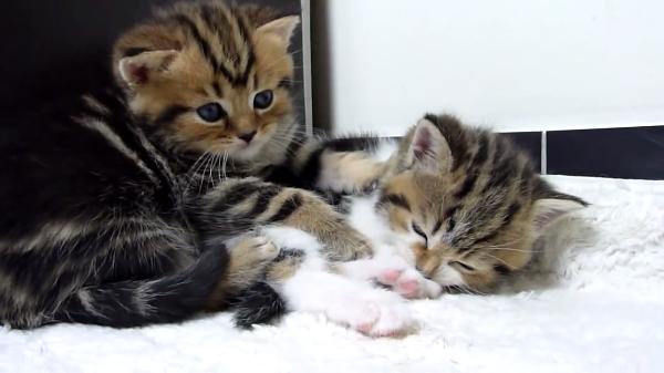突然の睡魔に襲われる子猫ちゃん(笑)兄弟と遊び疲れたあとは…突然の電池切れzzz