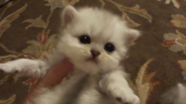 よちよち歩きの子猫ちゃんたちが可愛すぎる♡ふわふわペルシャ猫のもふもふ動画♪