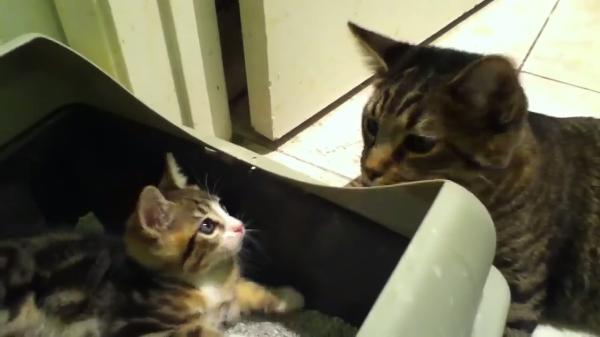 先住猫「そこはトイレなの!」子猫「??楽しいよ?」トイレで遊び始めちゃった子猫w