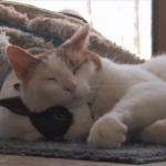 猫の枕は…ウサギ!?「ちょうどいいにゃ♪」「…いやちょっと疲れたよ?」