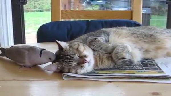 「あ~眠い眠いzzz」睡眠を鳩に邪魔される猫ちゃん
