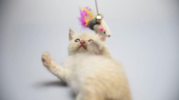 ねこじゃらしで遊ぶ姿がキュート♡お腹を出してじゃれるかわいい猫