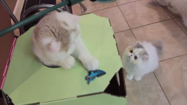 親子で遊ぼう♪子猫と親猫で楽しく遊んで…時には猫パンチも炸裂☆