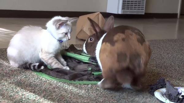 マイペースなウサギvsちょっとビビりな子猫。。。果たして二匹は仲良くなれるのか?!