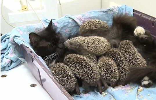 不慮の事故で母親を亡くしたハリネズミの赤ちゃんのママになった猫『分かったわ、まかせて!』