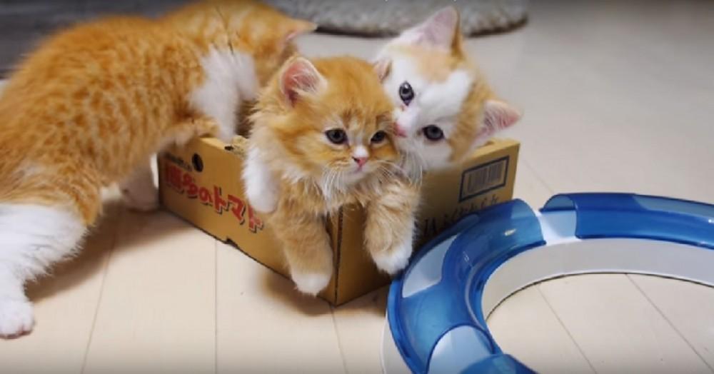 やっぱりお母さん?!子猫たちがケンカを始めると止めにきた母猫がとった意外な行動とは?(笑)
