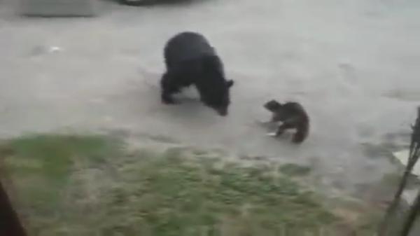 「家族を守るにゃ!!」突然現れた招かれざる客の子熊に果敢に挑んで家族を守った勇敢な猫ちゃん!!
