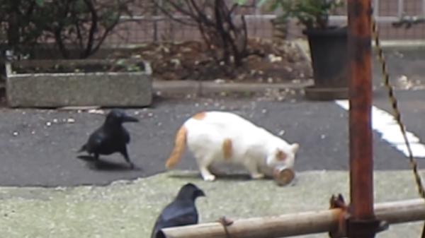 缶詰をめぐる戦い!!猫ちゃんvs2羽のカラス。勝負の結果は…仲良しwww
