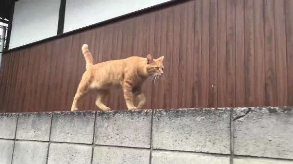 自宅を出て近所までお出かけしようとしたら顔見知りの野良猫さんが!モフってもらえないと気づくと一緒にお出かけについて来てくれました♪