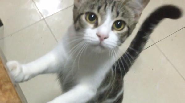 飼い主さんはやくご飯をちょうだい!ウルウルな瞳でアピールするかわいい猫