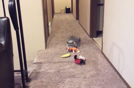 「どこ…?(泣)」飼い主さんを探してお気に入りのおもちゃを持ち歩く猫がせつなカワイイ!