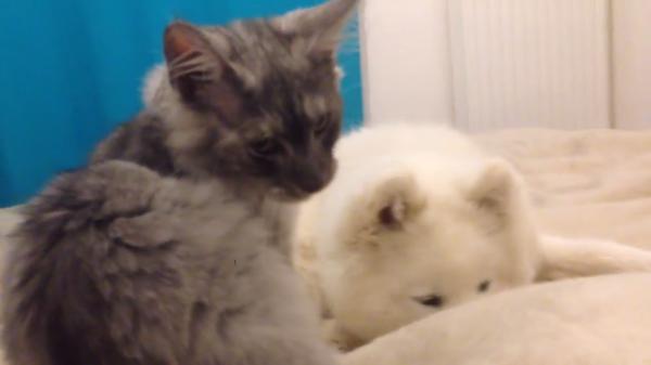 仲良しな二匹♪サモエドの子犬と戯れる子猫ちゃんにキュンっ!!♪