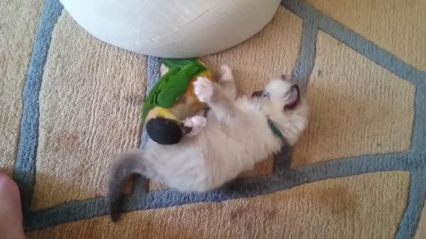 子猫VS鳥!壮絶バトルの末に勝ったのはどっち?なんともかわいい戦いです
