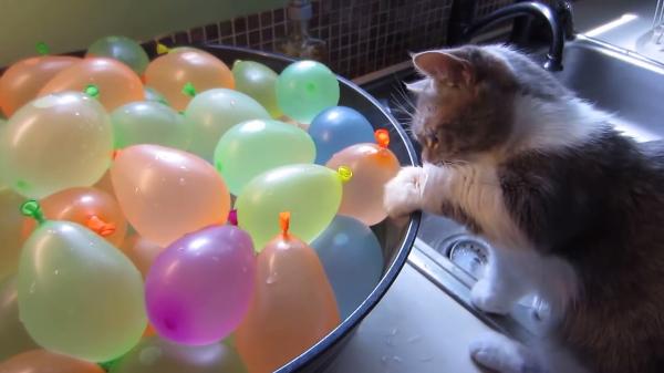 水の入った風船が気になる猫!でも楽しく遊んでいたら風船が破裂して...