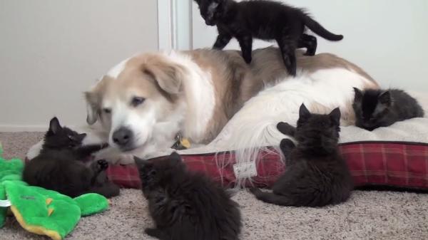 おおらかなワンちゃんVS子猫…やんちゃ盛りな5匹の黒猫ちゃんたちに囲まれてたじたじ…(笑)