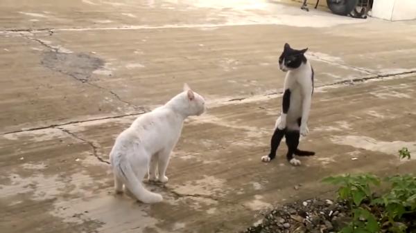 猫同士の格闘の結果…ビックリしたのか?なんと2本足で歩いちゃいました!