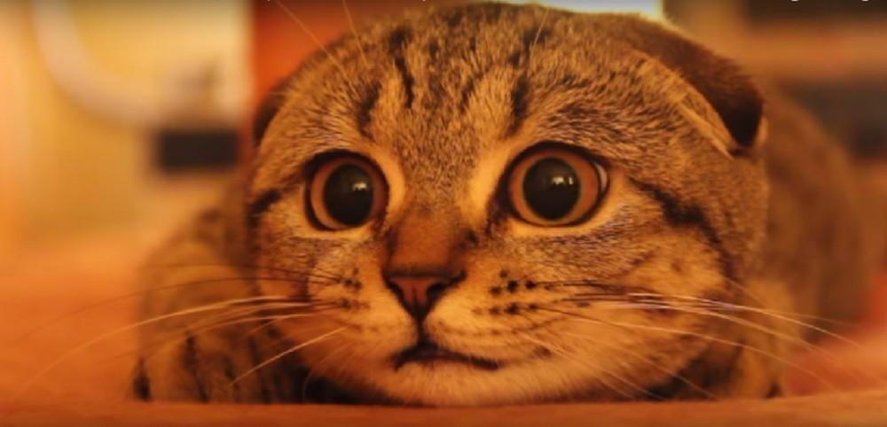 キュン死しそう♡獲物にくぎ付けのスコテの子猫ちゃん。くりくりお目めでお耳をペタっとくっつけてまん丸になっちゃった♪