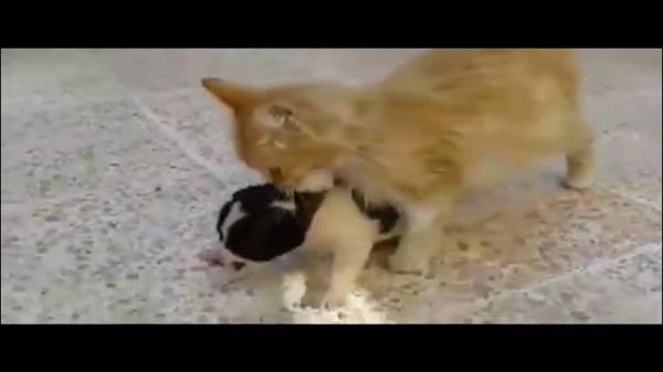 「あんた、ママがいないのね?」子犬を運ぶママ猫のやさしさ・・・!