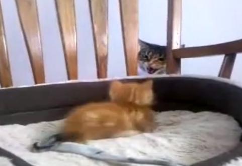 子猫にヤキモチ焼いちゃった先住猫「このちび助めー!」
