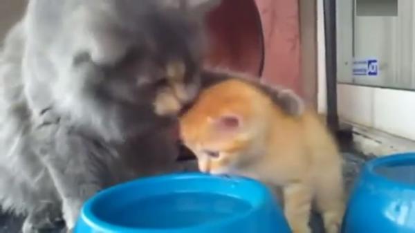 ママ「こうやって飲むのよ」子猫「わかった!……でも飽きた!」水の飲み方を教えたいママさんw