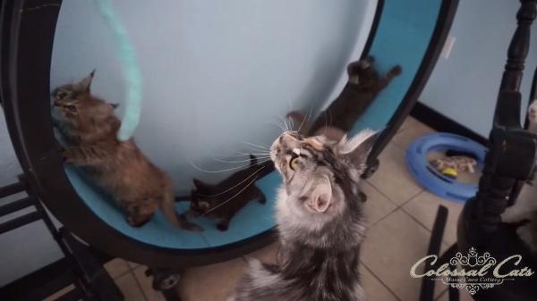 「気をつけるのよ~」回し車で遊ぶ子猫と見守る大人猫♪