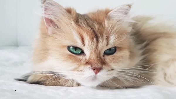 リラックスした猫がお腹を出して眠る様子が超キュート♡青い瞳がキラキラ輝く猫です!