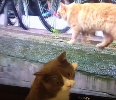 岩合光昭さんの「世界ネコ歩き」にて、お友達が欲しいブリティッシュ・ショートヘアの小鉄