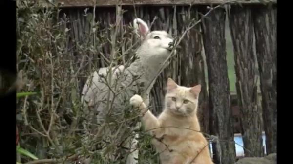 些細なきっかけからお友達になった子羊達とある1匹の猫ちゃん。お互い信頼し合う種族を超えた素敵な友情物語