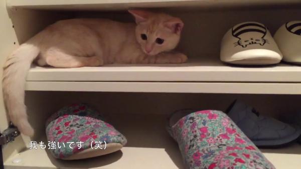 隙をついて下駄箱に入り込み引きこもった子猫と下駄箱に登りたいけど登れず頑張る子猫がかわいい♪