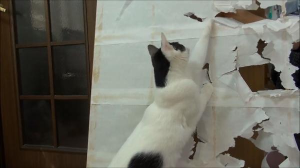 「飼い主さんのお手伝いにゃ〜♪」障子紙破りを猫ちゃんにお手伝いしてもらったらもの凄く楽しくなったwww